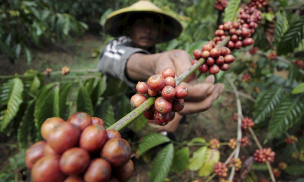 Plantación de café en indonesia