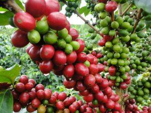 Plantación cafetalera